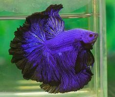 How Long Do Betta Fish Live? years is a common life-span of a domesticated betta fish, nonetheless approximately 6 years is very achievable as well as 10 can be done! Pretty Fish, Beautiful Fish, Animals Beautiful, Betta Fish Types, Betta Fish Care, Betta Aquarium, Colorful Fish, Tropical Fish, Poisson Combatant