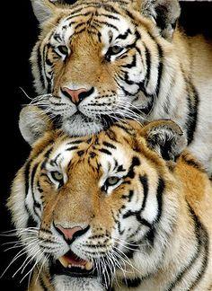 A pair of Siberian tigers cuddling.