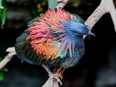 Meet The Closest Living Relative To The Extinct Dodo Bird - It Has Incredibly Colourful Iridescent Feathers