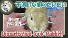 撫で方が気に入らなかった【 だいだい 】 Dissatisfied look rabbit. 2015年11月18日