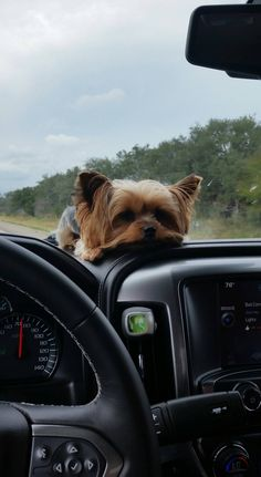 Post with 286 views. After two days of camping on the beach she is ready to go home Yorky Terrier, Yorshire Terrier, Terrier Puppies, Yorkie Puppy, Cute Dogs And Puppies, Teacup Yorkie, Yorkshire Dog, Yorkshire Terrier Dog, Cute Baby Dogs