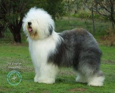 Old English Sheepdogs my-favortie-doggies