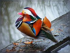 Mandarin Duck - Oh. My. Gosh. That's amazing...