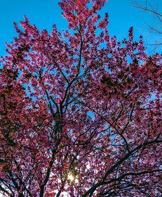 Cherry Tree, Cherry Blossom, Spring, Plants, Cherry Blossom Tree, Plant, Cherry Blossoms, Planets