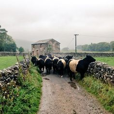 """pagewoman: """"Belted Galloways, Malham, Yorkshire Dales, England by Hill Top Farmgirl """" Yorkshire Dales, North Yorkshire, Yorkshire Terrier, Country Farm, Country Life, Country Living, Country Style, Farm Animals, Animals And Pets"""