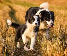 Border collie youngster, and mum probably, in a stubble field.