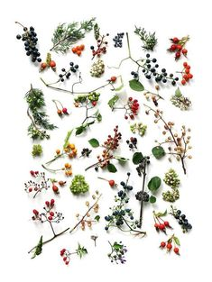 Gardening Autumn - wild berries (mary jo hoffman) - With the arrival of rains and falling temperatures autumn is a perfect opportunity to make new plantations Arte Floral, Motif Floral, Botanical Illustration, Botanical Prints, L Wallpaper, Theme Nature, Nature Collection, Wild Flowers, Fresh Flowers