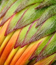 BetterPhoto.com Photo Contest SECOND PLACE Winner  Layers  Description: An extreme close up of a gerbera daisy bud.