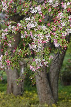Japanese Flowering Crab Apple Tree (Malus floribunda) by Steffen Hauser Apple Plant, Apple Flowers, Blossom Trees, Apple Tree Gardening, Apple Blossom, Pink Plant, Crabapple Tree, Apple Tree Flowers, Landscaping Trees