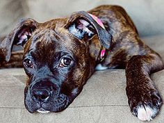 Brindle doggies are the best! Girls Best Friend, Best Friends, Best Pet Dogs, Nanny Dog, Pets 3, Pet News, Four Legged, Snuggles, Doggies