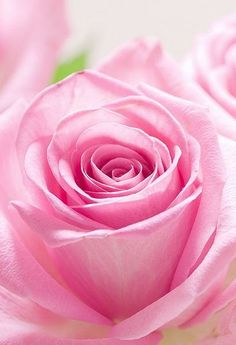 ~J  pretty  Rose