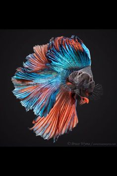 Some interesting betta fish facts. Betta fish are small fresh water fish that are part of the Osphronemidae family. Betta fish come in about 65 species too! Betta Aquarium, Betta Fish Tank, Fish Tanks, Pretty Fish, Beautiful Fish, Animals Beautiful, Stunningly Beautiful, Colorful Fish, Tropical Fish