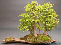 Бонсай — искусство выращивания карликовых деревьев