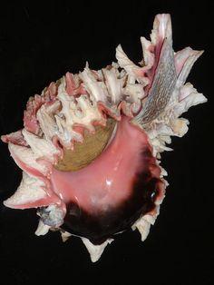 Phyllonotus regius 167mm w/o CHOICE PINK GLOSSY HUGE SHIELD | eBay