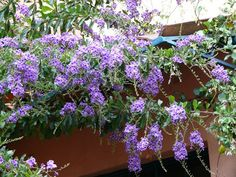 a tropical tree which can be grown as a large pot plant with weeping branches of striking blue/purple white edged flowers and yellow/orange berries. Exotic Flowers, White Flowers, Beautiful Flowers, Tropical Garden Design, Tropical Plants, Fruit Trees, Trees To Plant, Duranta, Dwarf Plants