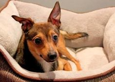 Woody is an adoptable Italian Greyhound Dog in Chicago, IL. Woody is a feisty comical guy! He was surrendered along with his siblings by a backyard breeder. Now he's ready to be a part of someone's ...
