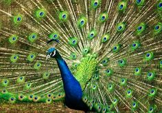 Peacock, Blue, Green, Feather Peacock Images, Peacock Photos, Free Pictures, Free Images, Funny Pictures, Peacock Tail, Peacock Blue, Amazing Nature, High Quality Images