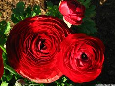 Red Ranunculus. I think this flower is wonderful