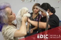 """Asistente Veterinario con Pet Grooming es un programa para los que aman los animales y quisieran trabajar con un veterinario, o para los que quieran ser dueños de su propio negocio de cuido o """"grooming"""" de mascotas.   Si quieres una orientación, déjanos tus daros en: http://estudia.ediccollege.edu/solicitud_informacion"""