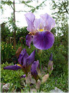 Overal gaten van de hagel, maar van onze Iris germanica stond er nog maar enkele open. En nu bloeien de overige, onbeschadigd en puur...