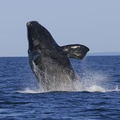 A young North Atlantic Right Whale breaches out of water - Bay of Fundy
