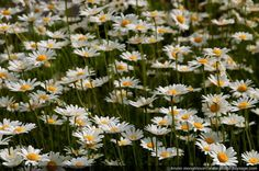 Daisy in the Alps - Outdoor landscape in french Alps mountains