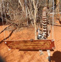Loving their new swing! Photo credit: Reniala Lemur Rescue Center.  Swing ideas for bird run