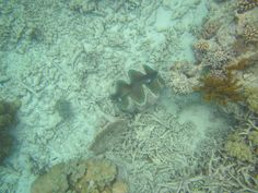 Clam at the bottom of the ocean floor on the Great Barrier Reef