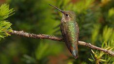 female Rufous Hummingbird -