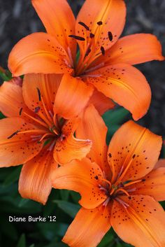 ~~ orange lilies ~~ makes  me think of my mom!!