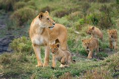 Lioness walking with four little cubs