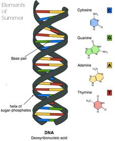 Universal Genetic Code- This diagram shows a DNA molecule