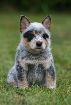 awww, looks like a little raccoon! ♥ Blue Heeler, Australian Cattle Dog | Cutest Paw
