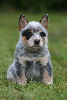 awww, looks like a little raccoon! ♥ Blue Heeler, Australian Cattle Dog | Cutest Paw