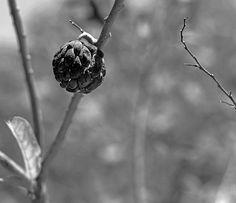 Fruto ressecado