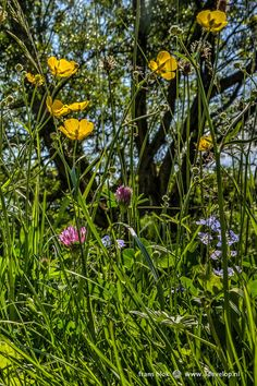 A festival of color here in this flowery meadow in springtime: buttercup, red clover, plantain and speedwell.