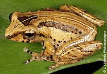 Pseudophilautus Hypomelas also known as the Webless Shrub Frog endemic to Sri Lanka, extinct in 1876.