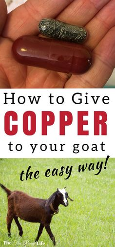 Copper deficiency can cause health problems in your goats. Learn how to give your goats a copper bolus- the easy way!