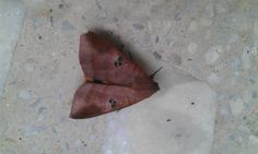 Its not a dry leaf, its a moth :)