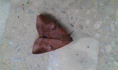 Its not a dry leaf, its a moth :)