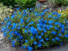 Lithodora Heavenly Blue Lithodora heavenly blue b