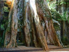 Templo de las Raíces Camboya #travelphoto #travelling #viaje #viajeros #History #Culture #Camboya #asia #asiático #templos #angkor #natgeotravel #natge #trip #siemreap #mochilerostv #paisajes #trips #traveler #traveling #travelblogger #travelblog #roadtrip #asiaventure #adventure #native #natge #nativo #adventur by fsm406