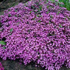 Saponaria ocymoidesKrypsåpeurt Flower Beds, Planting, Gardening, Garden Plants, Flower Power, Nature, Flowers, Image, Pink