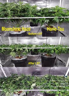 In P SCROG 2x4 - Moonshine Haze (Sativa) on left shown before and after LST (Low Stress Training). Harle-Tsu (CBD predominant) on right shown before and after LST.