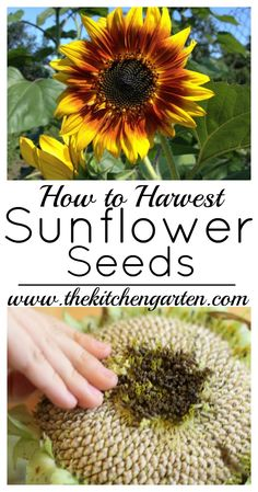 How to Harvest Sunflower Seeds. Harvesting sunflower seeds is fun and easy. via Harvesting sunflower seeds is fun and easy. Home Vegetable Garden, Herb Garden, Garden Tips, Garden Gates, Garden Plants, Planting Sunflowers, Growing Sunflowers From Seed, Planting Sunflower Seeds, Sunflower Seedlings