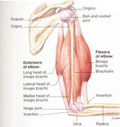 Anatomie Triceps des photos, des photos de fond, fond d'écran