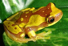 Hourglass Tree Frog - Their name refers to the hourglass pattern of spots on their backs. Tropical forest in Central America and Venezuela
