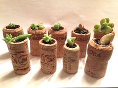 Suculentas na rolha Succulents in the cork