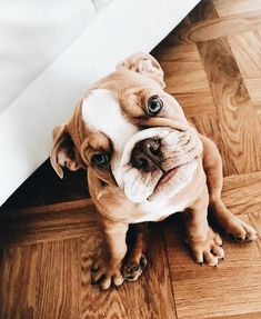 The major breeds of bulldogs are English bulldog, American bulldog, and French bulldog. The bulldog has a broad shoulder which matches with the head. Bulldog Puppies, Cute Puppies, Cute Dogs, Dogs And Puppies, Doggies, Animals And Pets, Baby Animals, Cute Animals, Cute Animal Photos