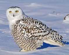 A young snowy owl
